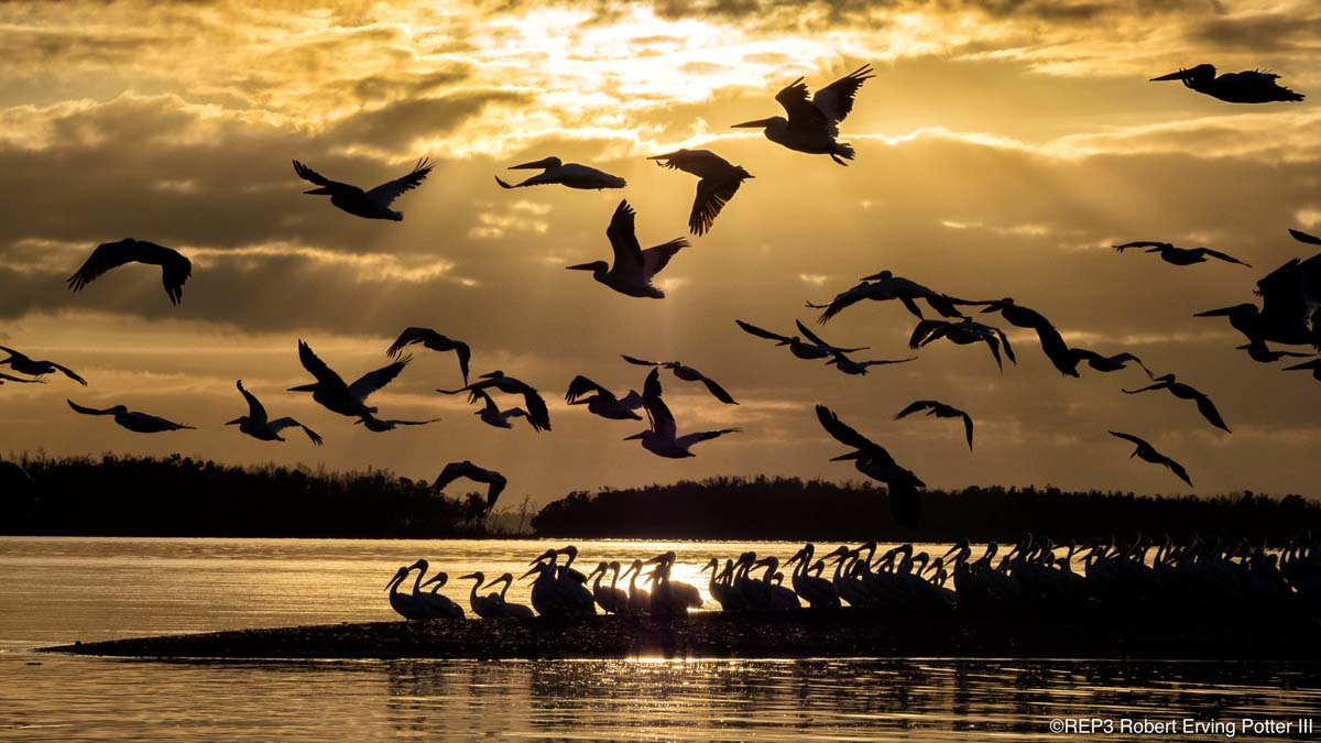 Image of pellicans taking flight from an islet at sunset. All rights reserved: REP3.com Robert Erving Potter III 2020