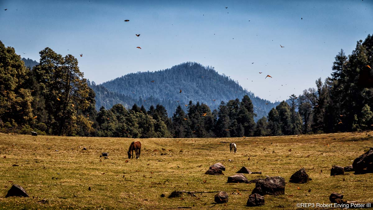 Picture of hundreds of migrating Monarch butterflies hovering over a rock strewn meadow in the mountains of Mexico. Horses grazing lazily on the grass. All rights reserved: REP3.com Robert Erving Potter III 2020