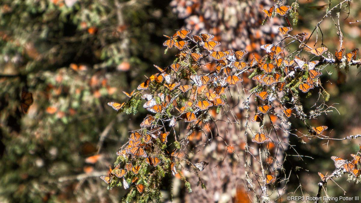Picture of a spectacular mass of migrating Monarch butterflies completely covering, and obscuring, the branches of a tree. All rights reserved: REP3.com Robert Erving Potter III 2020