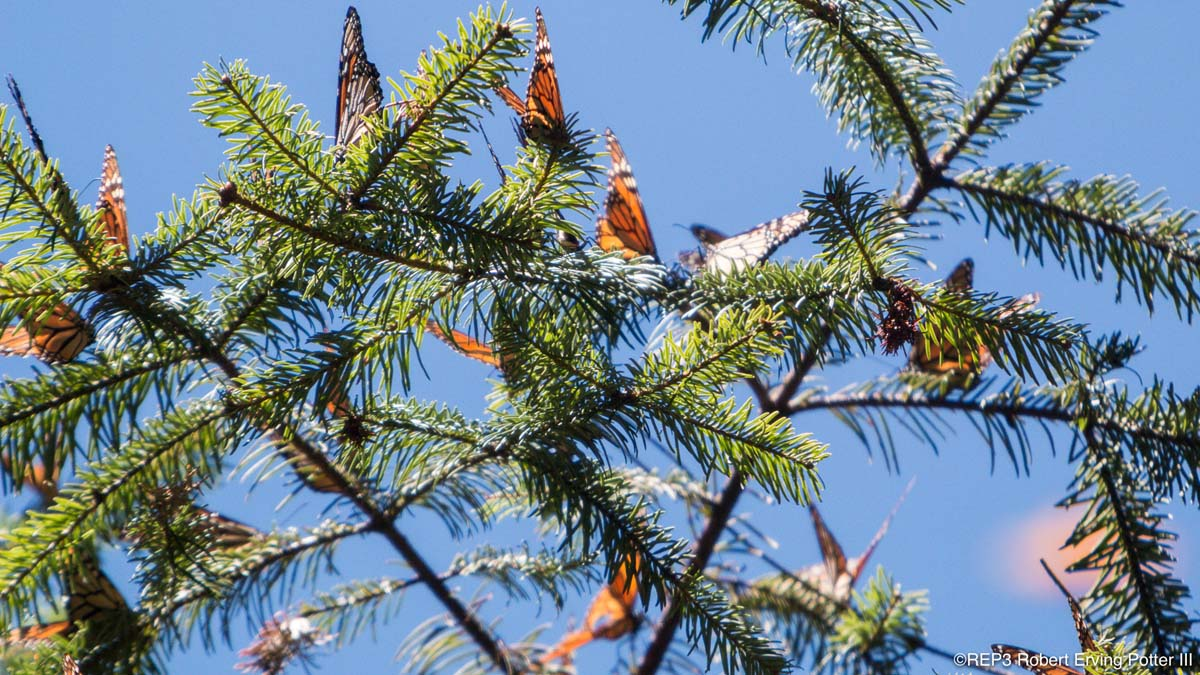 Picture of many migrating Monarch butterflies alit on the branches of a fir (pine) tree. All rights reserved: REP3.com Robert Erving Potter III 2020