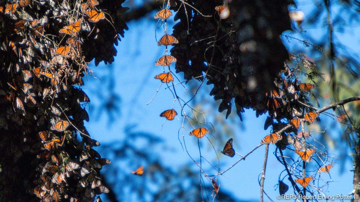 Closer view of migrating Monarch butterflies amassed on the branches and trunk of a tree, clear blue sky can be seen in the distance. All rights reserved: REP3.com Robert Erving Potter III 2020