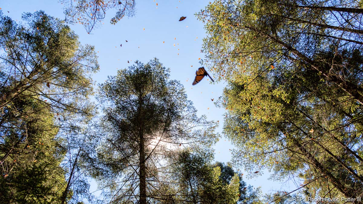 Picture of migratory monarch butterflies flitting among the trees in Mexico. All rights reserved: REP3.com Robert Erving Potter III 2020