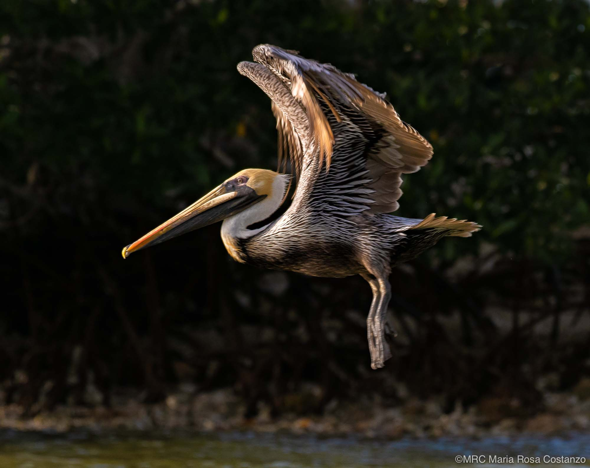 Eastern Brown Pelican photographed by Maria Rosa Costanzo, student with Potter School of Photography. Photo created on safari in Everglades National Park, Florida, USA