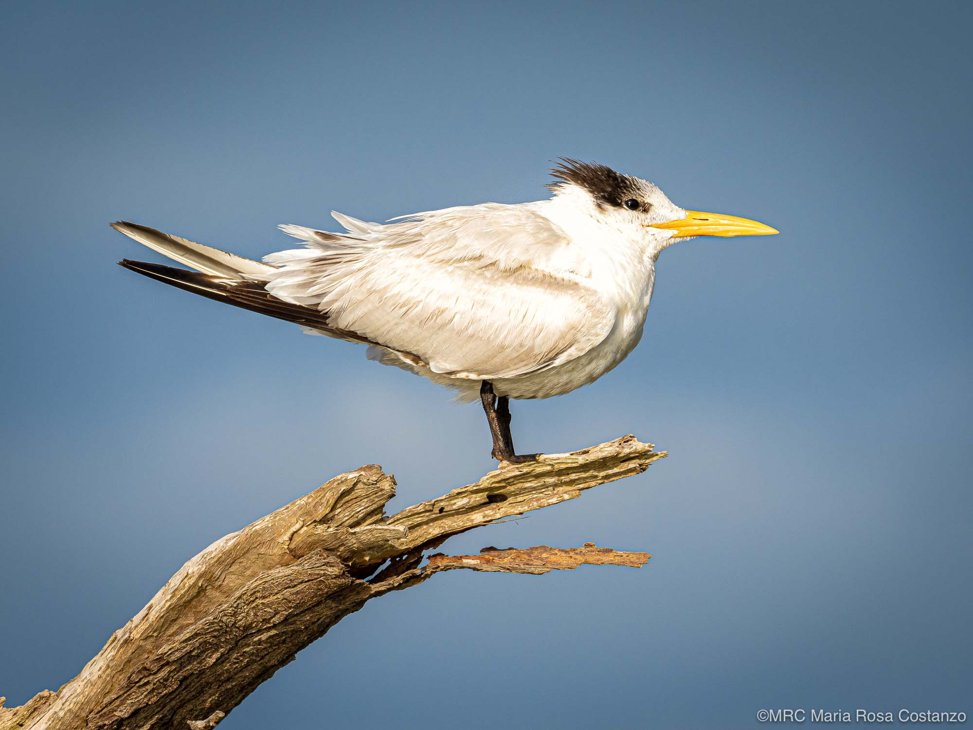 Chinese Crested Tern photographed by Maria Rosa Costanzo, student with Potter School of Photography. Photo created on safari in Everglades National Park, Florida, USA
