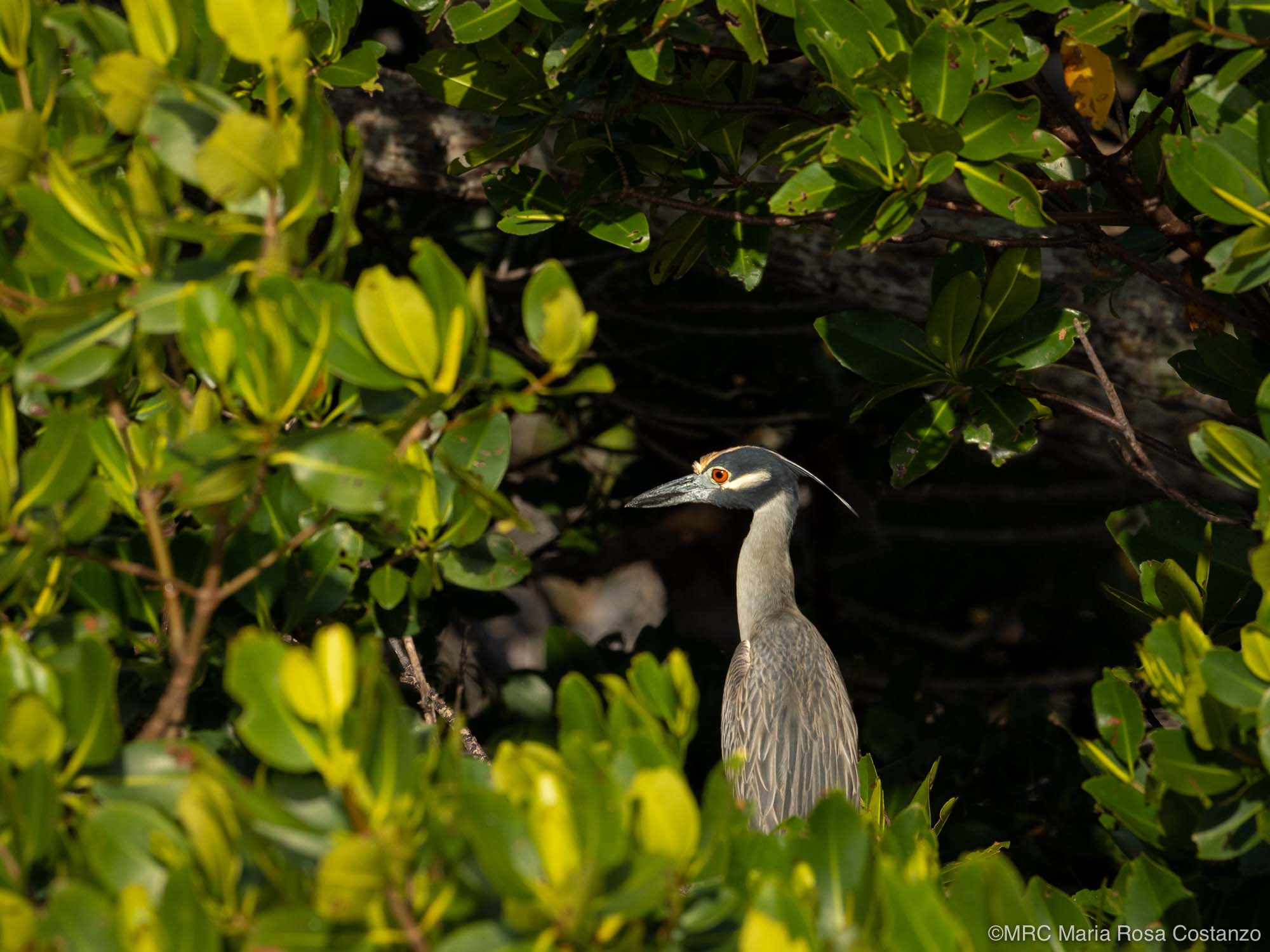 Yellow-crowned Night-heron photographed by Maria Rosa Costanzo, student with Potter School of Photography. Photo created on safari in Everglades National Park, Florida, USA