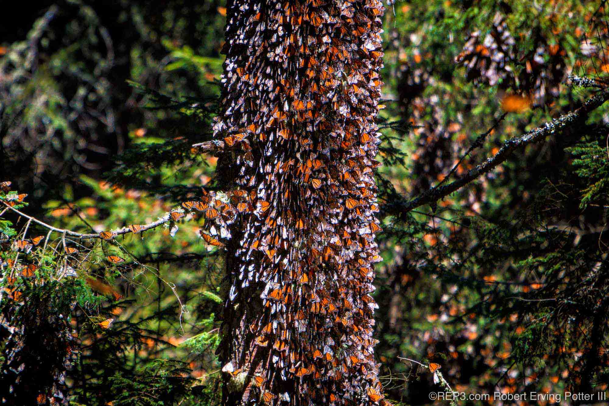 Oyamel Fir Tree with Monarch Butterflies photographed by Robert Erving Potter III, Michoacan, Mexico