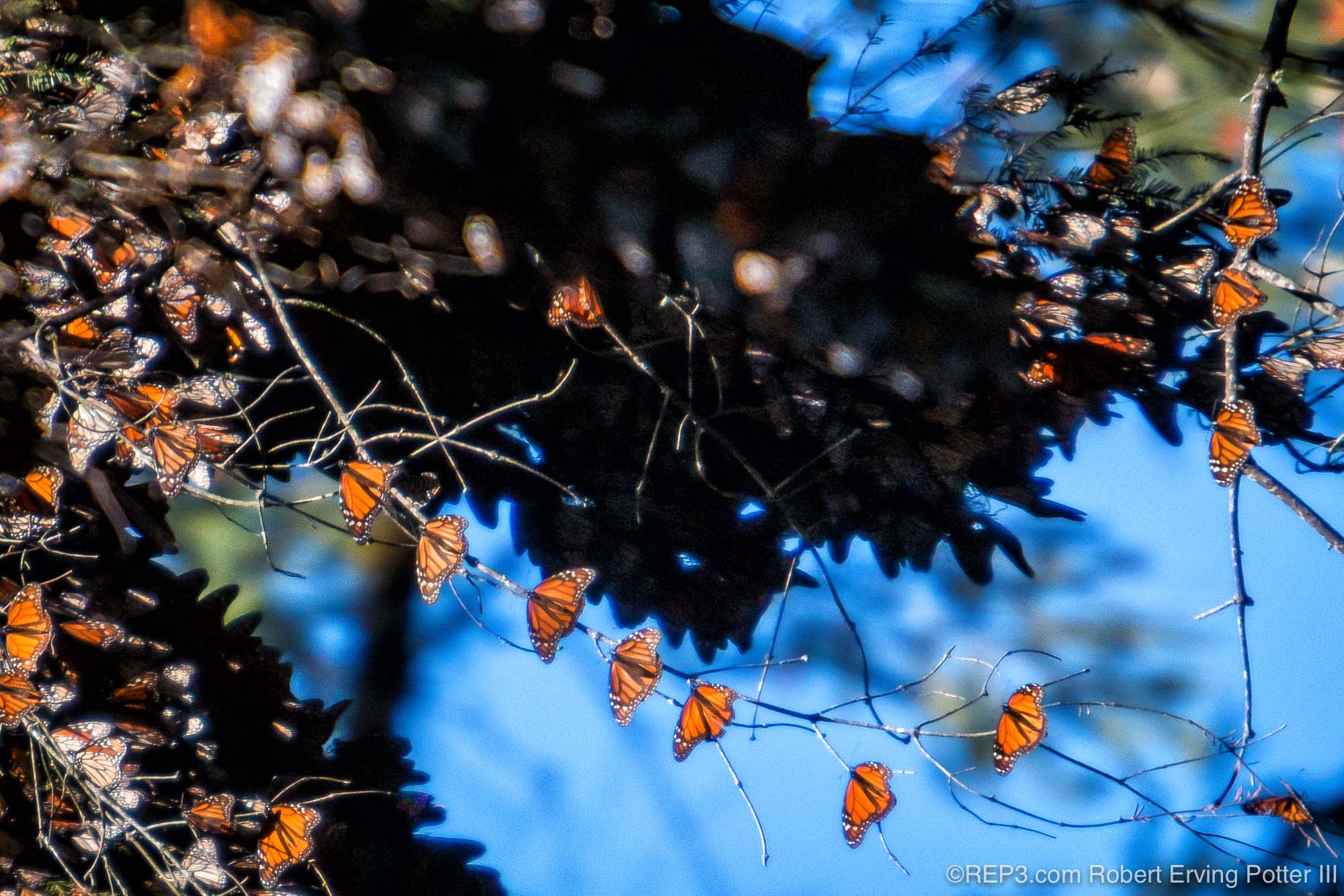 Chain of Monarch Butterflies photographed by Robert Erving Potter III, Michoacan, Mexico