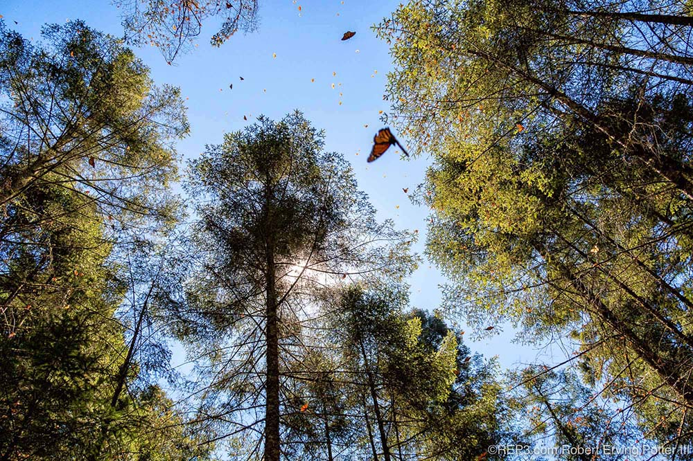 Monarch Butterfly Migration photographed by Robert Erving Potter III, Michoacan, Mexico